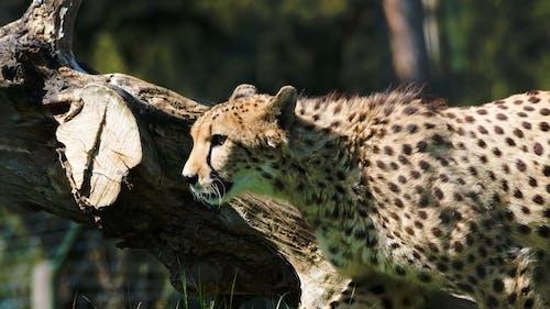 Close-up Video of a Walking Cheetah