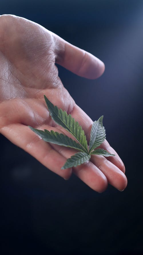 A Person Holding Leaves of a Cannabis Plant