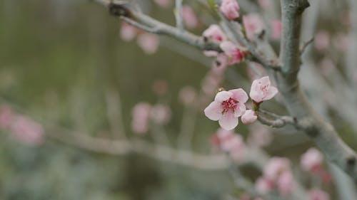 A Close-Up Video of Cherry Blossom Tree
