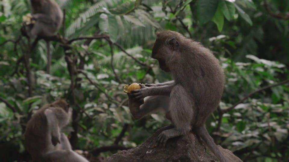 Monkey Peeling A Fruit