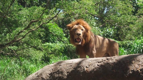 Lion Standing on a Rock