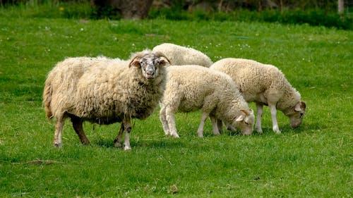Sheep Grazing Pastures