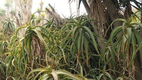 Close-Up Footage of Aloe Vera Plants