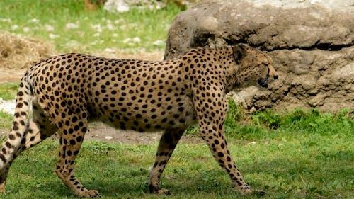A Cheetah Walking and Looking Around