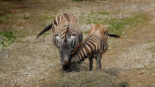 Zebras Feeding on Hays