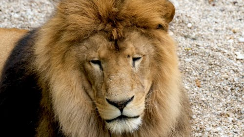 Video of a Lion