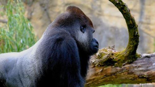 Side View of a Silverback Gorilla