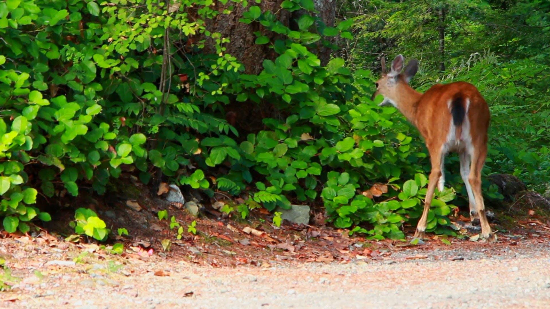 Deer Eating Leaves
