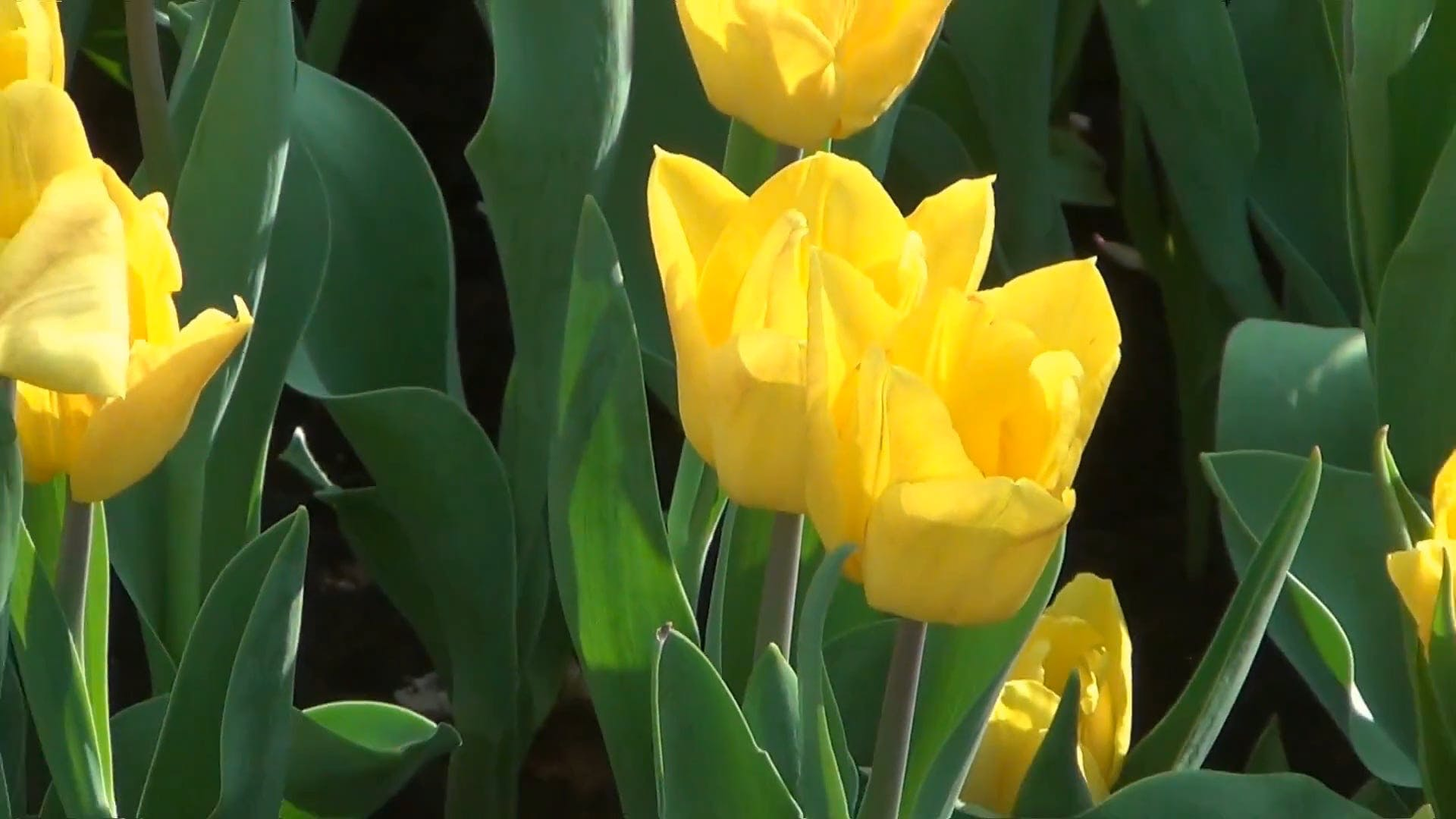 Zooming Out Yellow Tulips