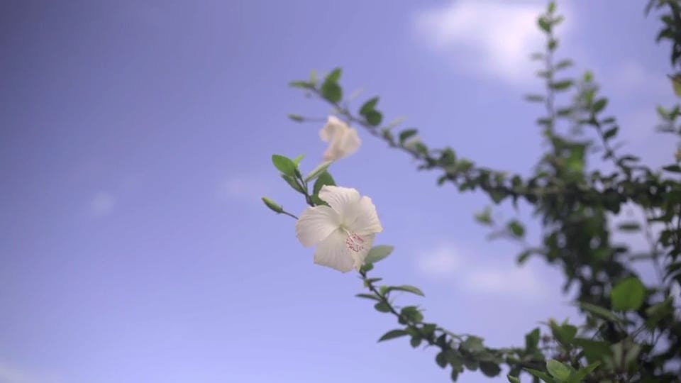 Wind Blowing at Flowers Under a Clear Sky