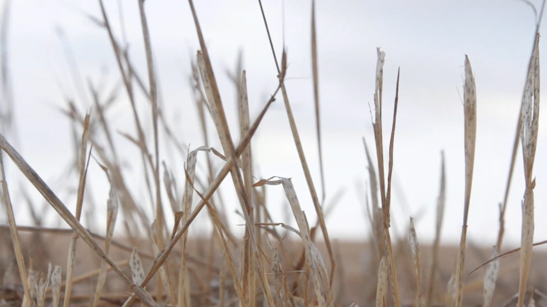 Close-Up Video Of Dry Straw