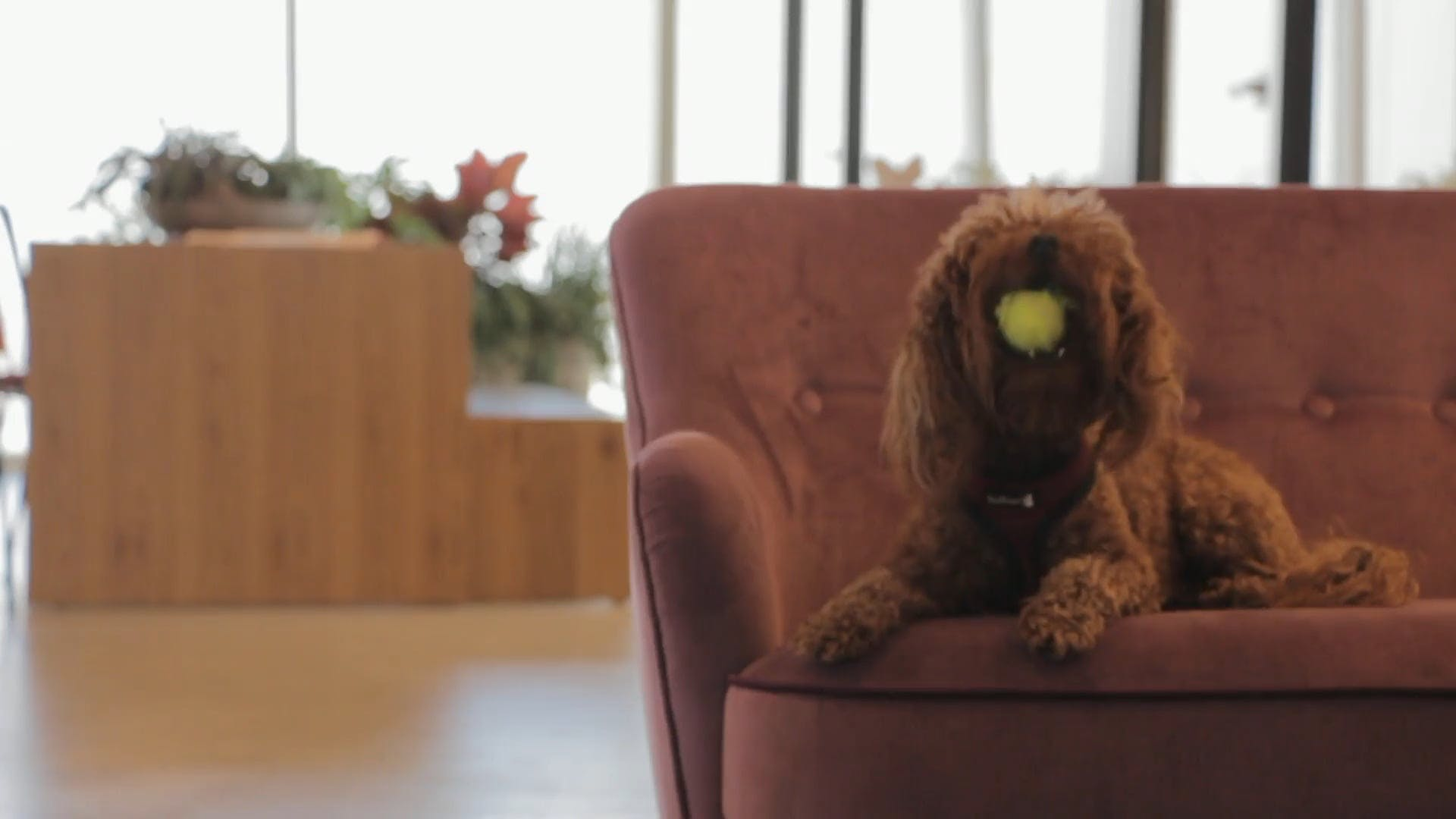 Video of a Brown Puppy Playing with a Ball