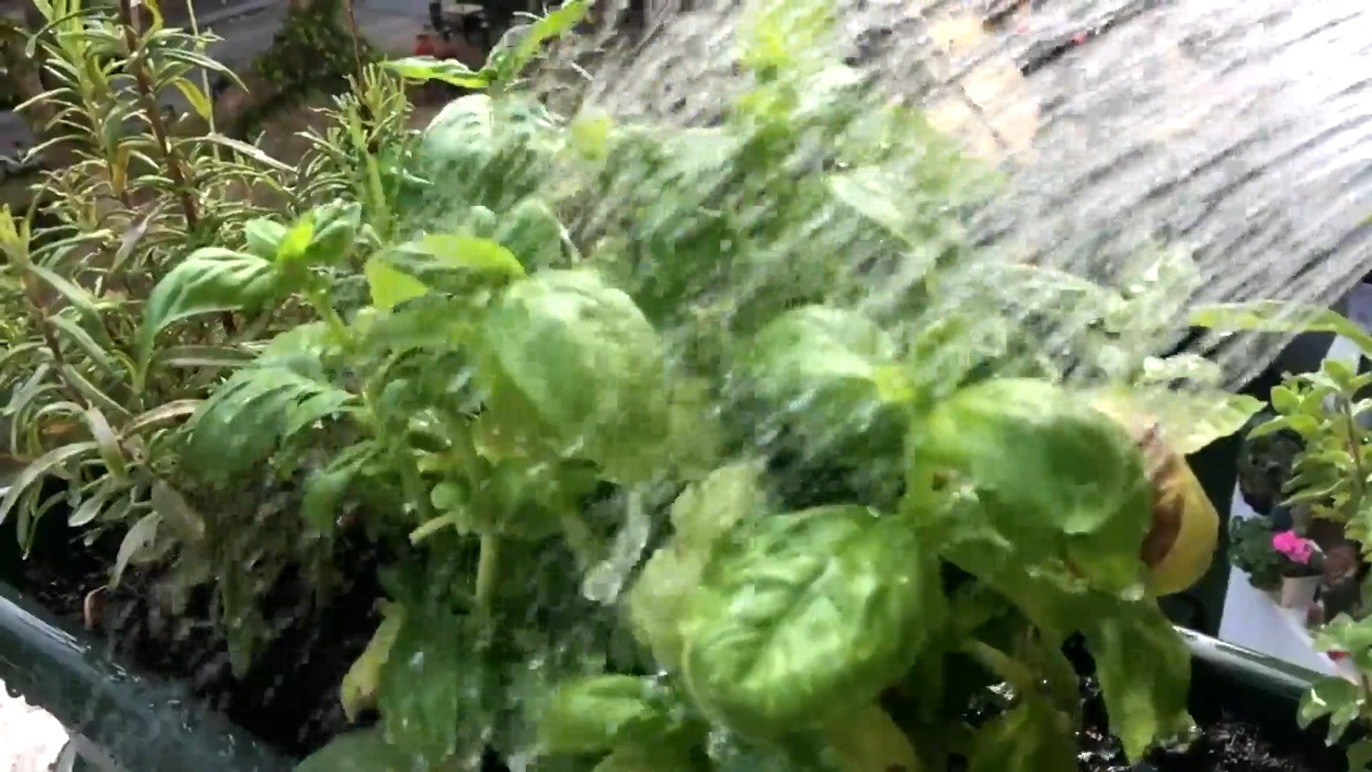 Watering Green Plants