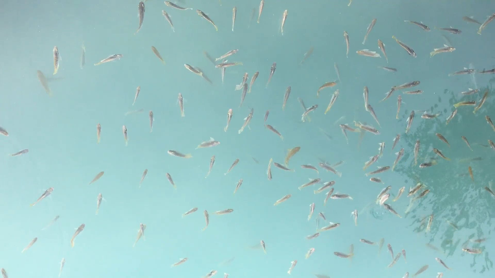 Video Of School Of Fish