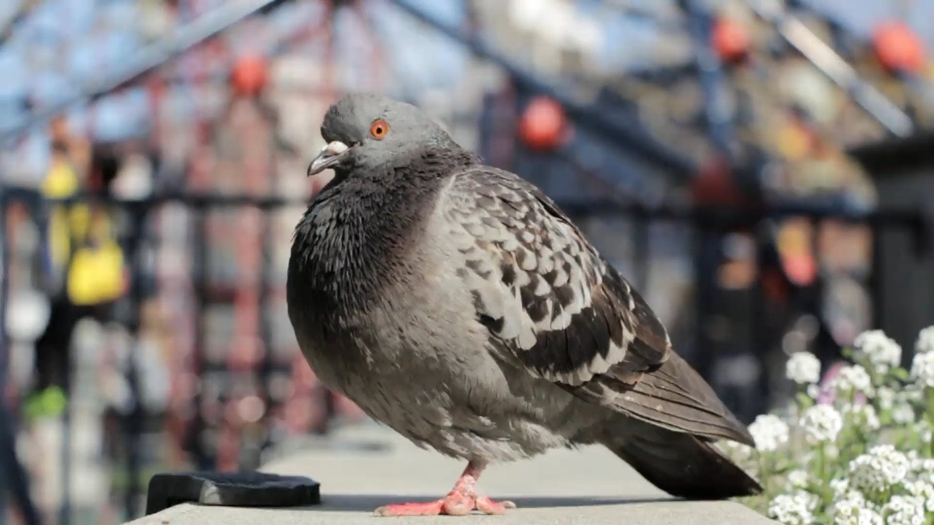 Video Of A Pigeon