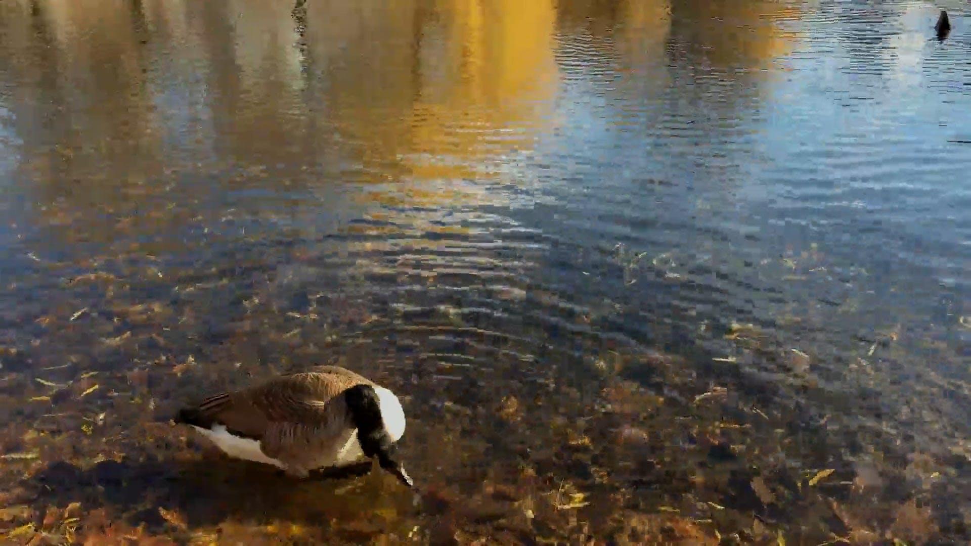 Ducks Preening At The Lake