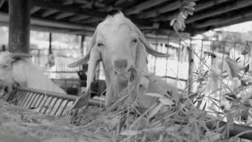 Black And White Video Of Goats Eating Grass