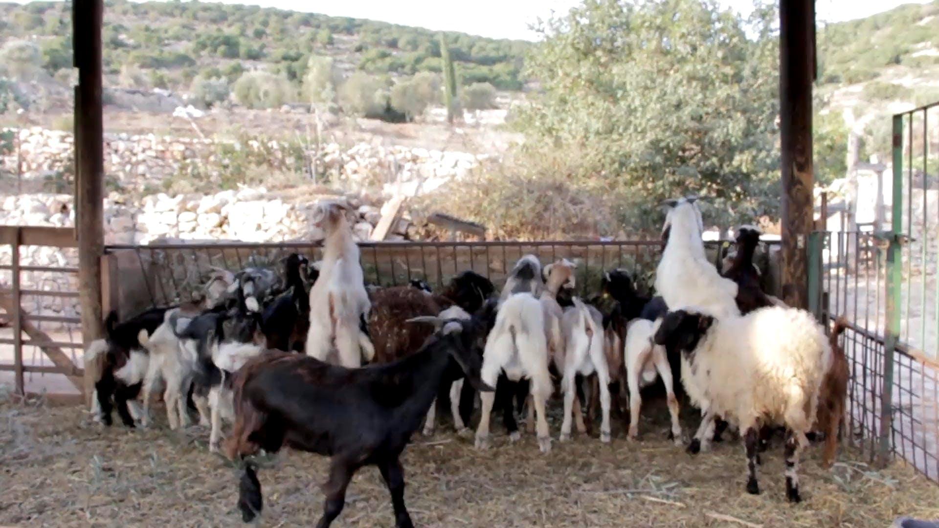 Herd Of Goats Eating