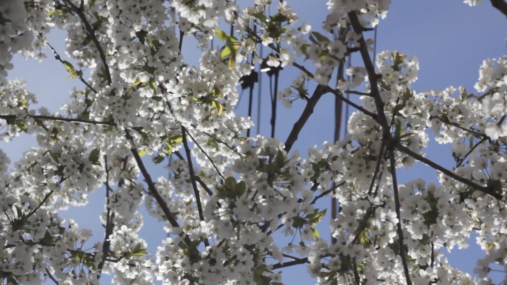 Video Flowering Tree