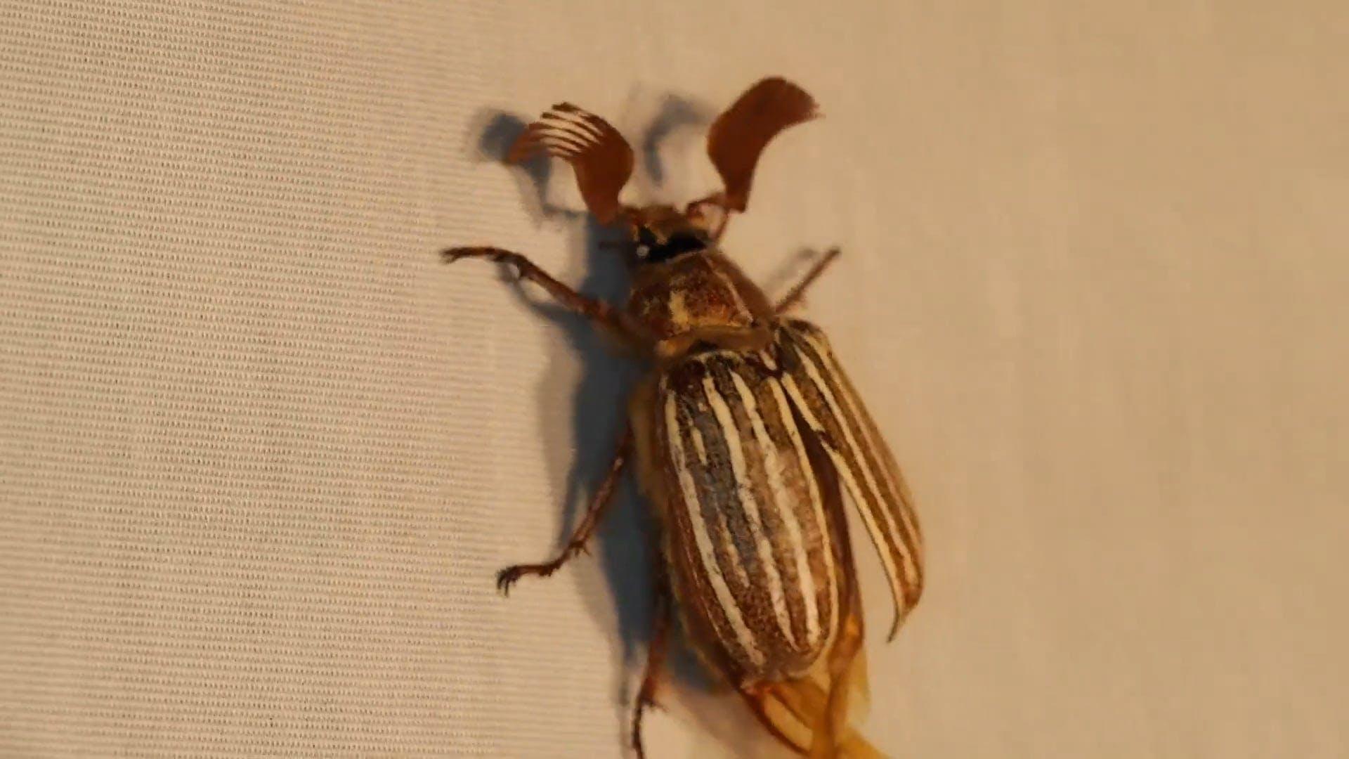 Brown Beetle Flying Away