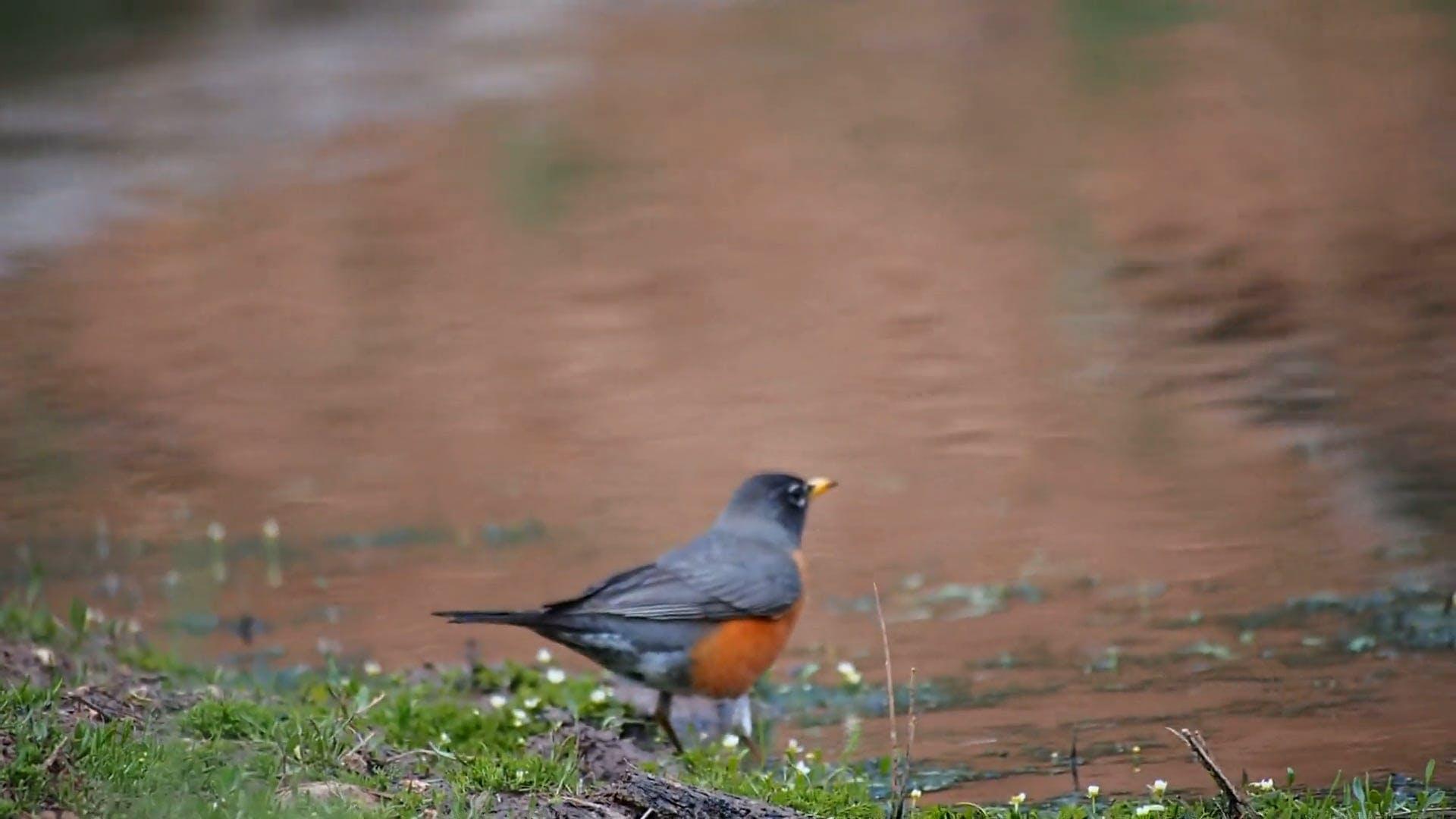 Black Bird Hopping Around Near a Body of Water