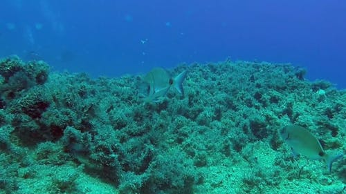 Underwater Video of Fishes and Scuba Diver