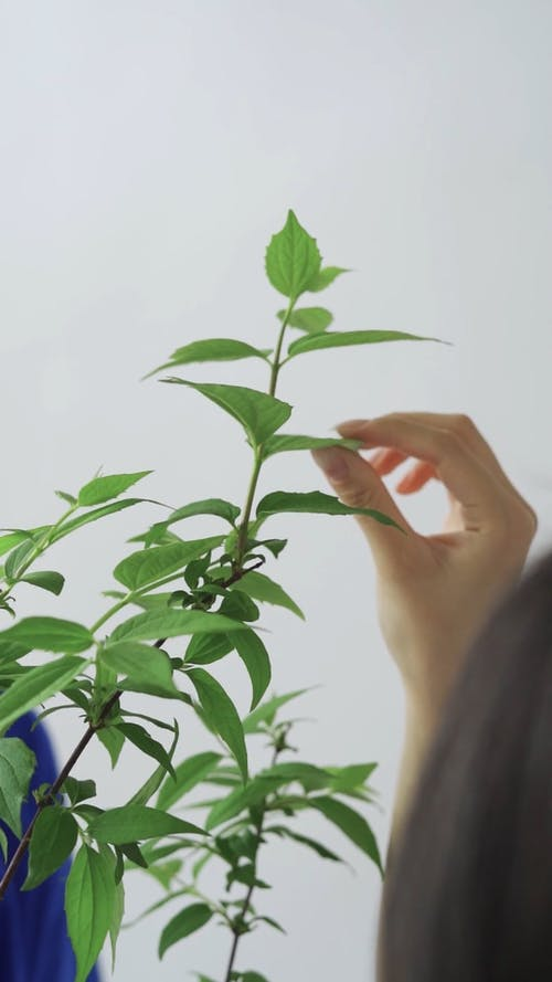 A Person Touching Leaves of the Plant