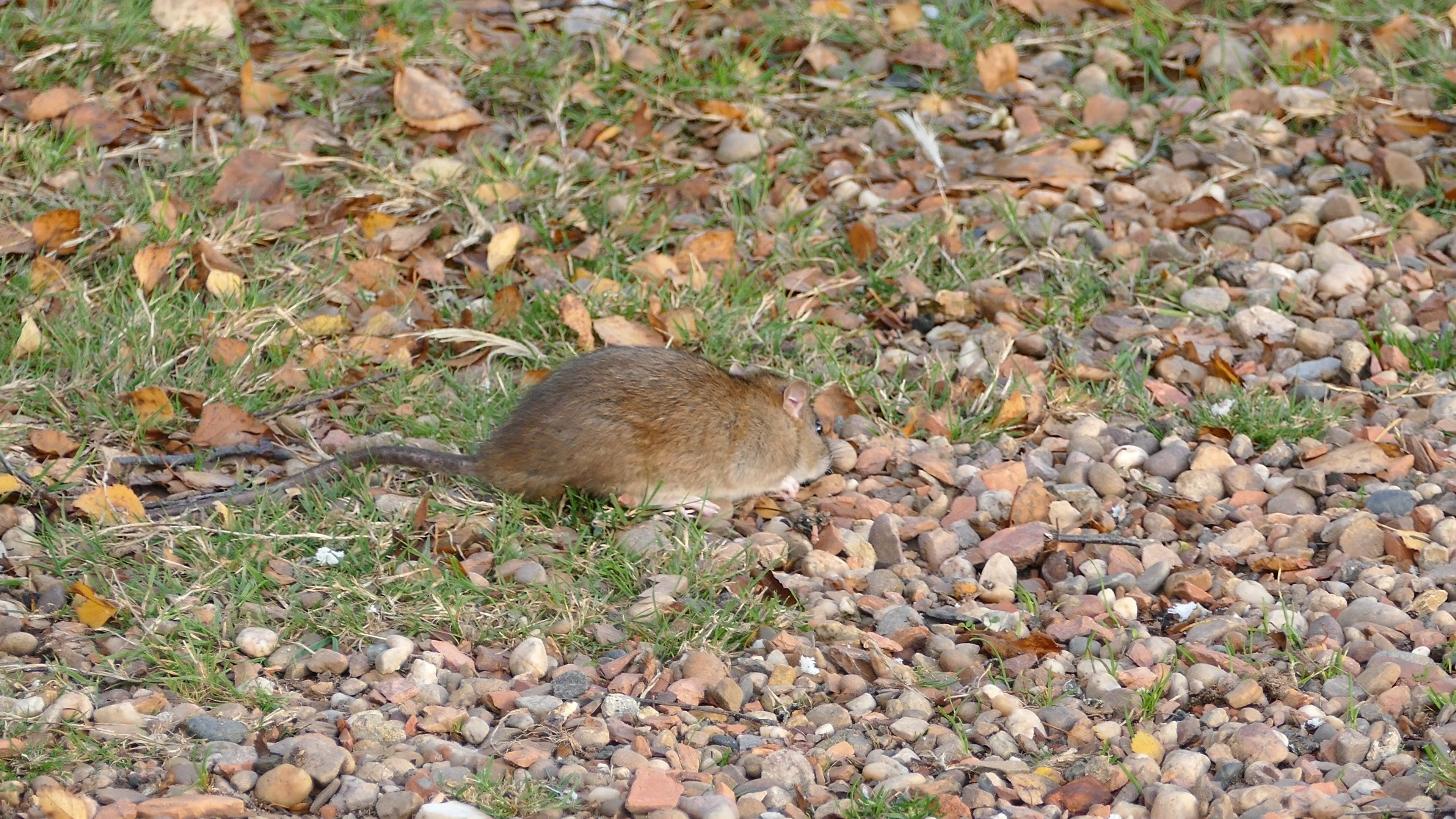 Video Of Rodent