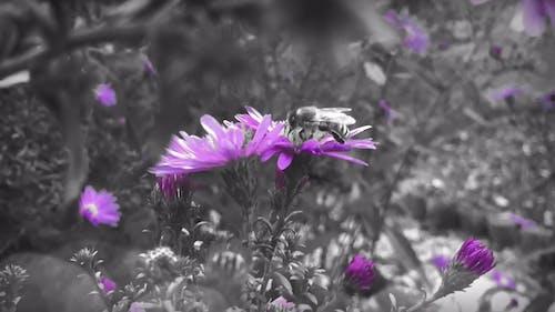 Honeybee On Purple Daisy Flower