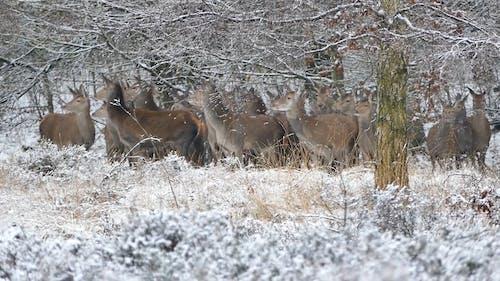 A Herd of Deer Running