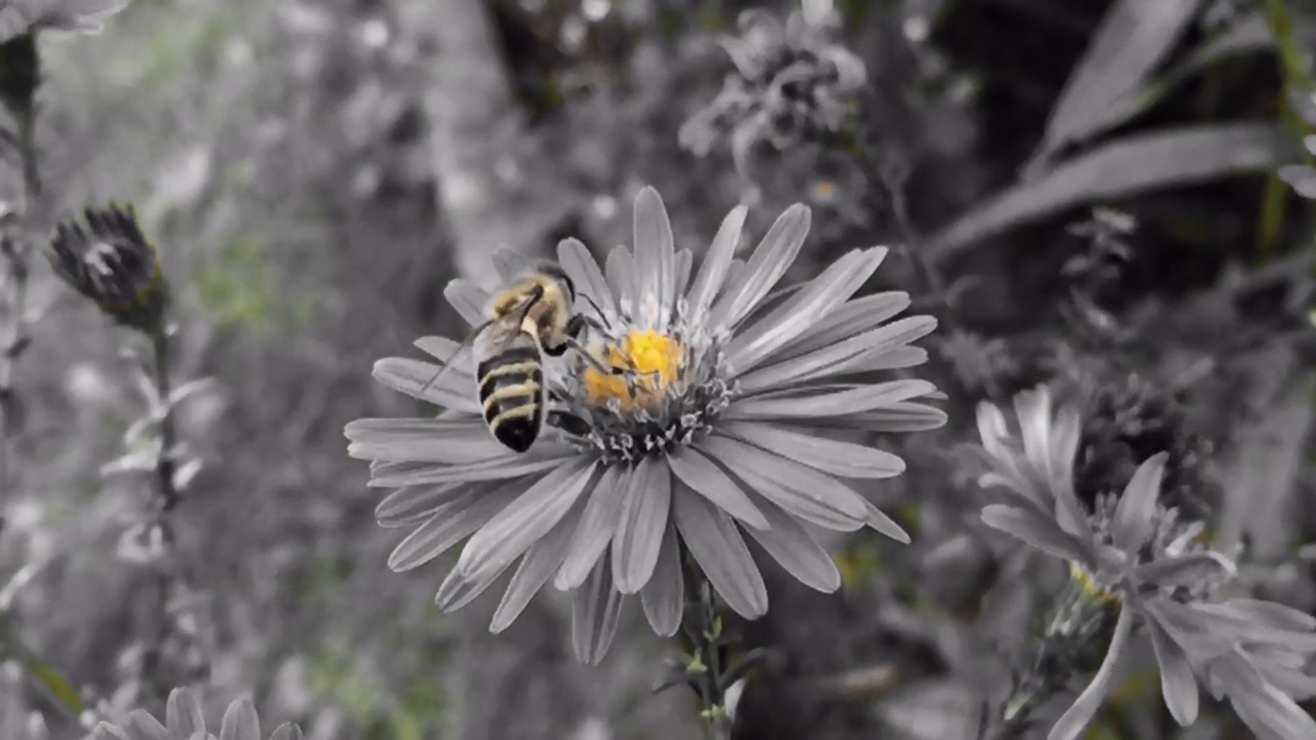 Black And White Video Of Bee Pollination