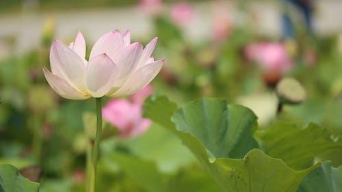Lotus Dansant Dans Le Vent