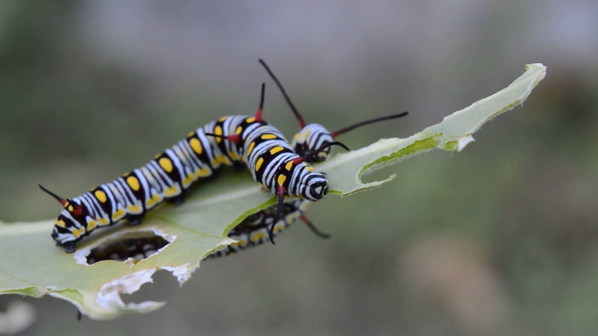 Caterpillars Eating