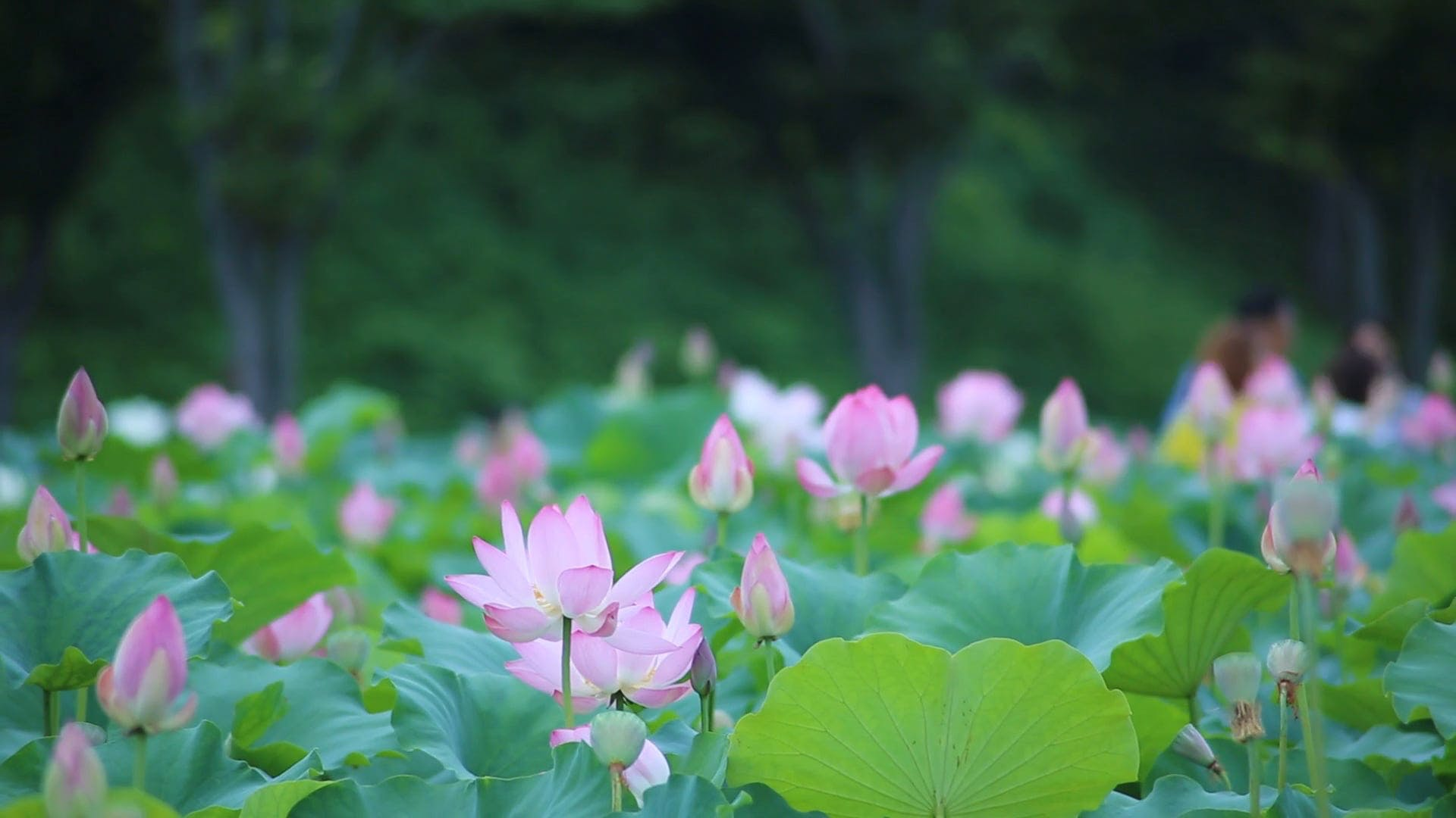 Beautiful Lotus Field in Bloom