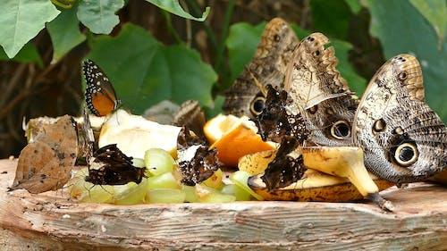 Butterflies Eating Fruits