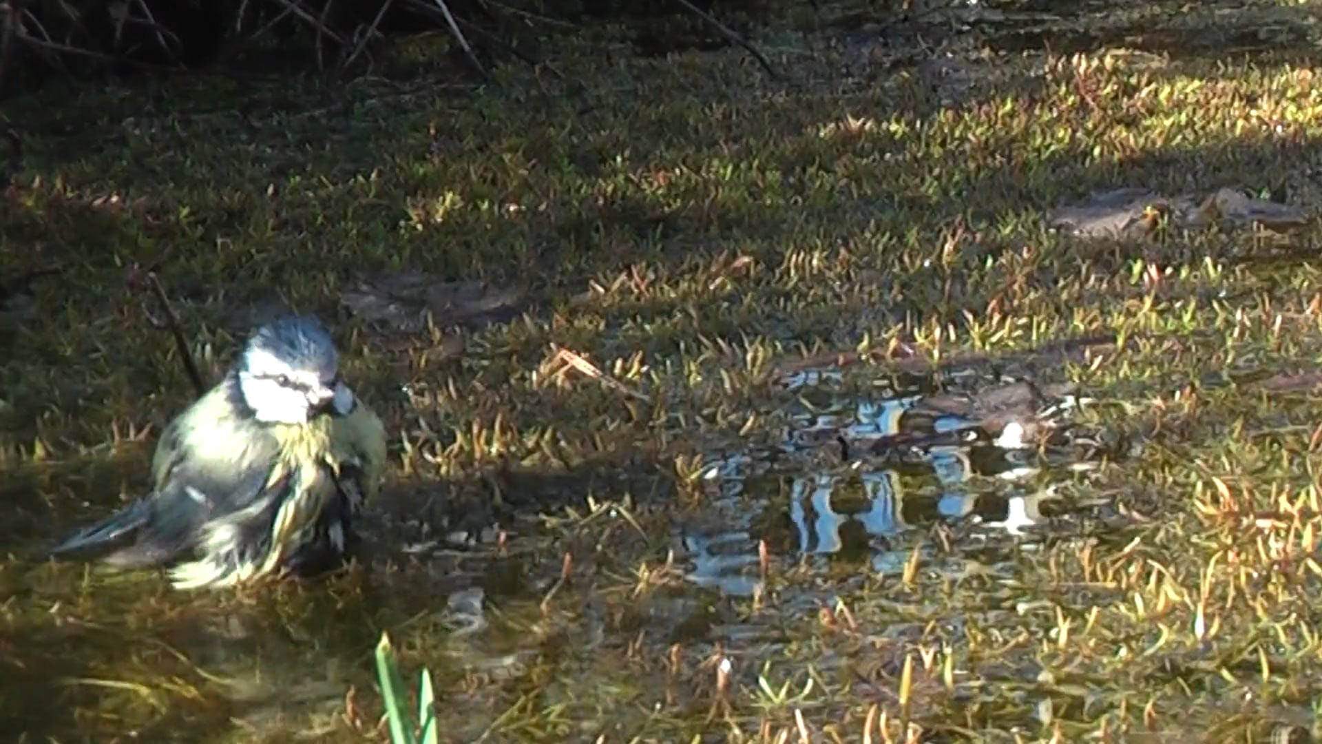 Bird Bathing On Puddle Of Water