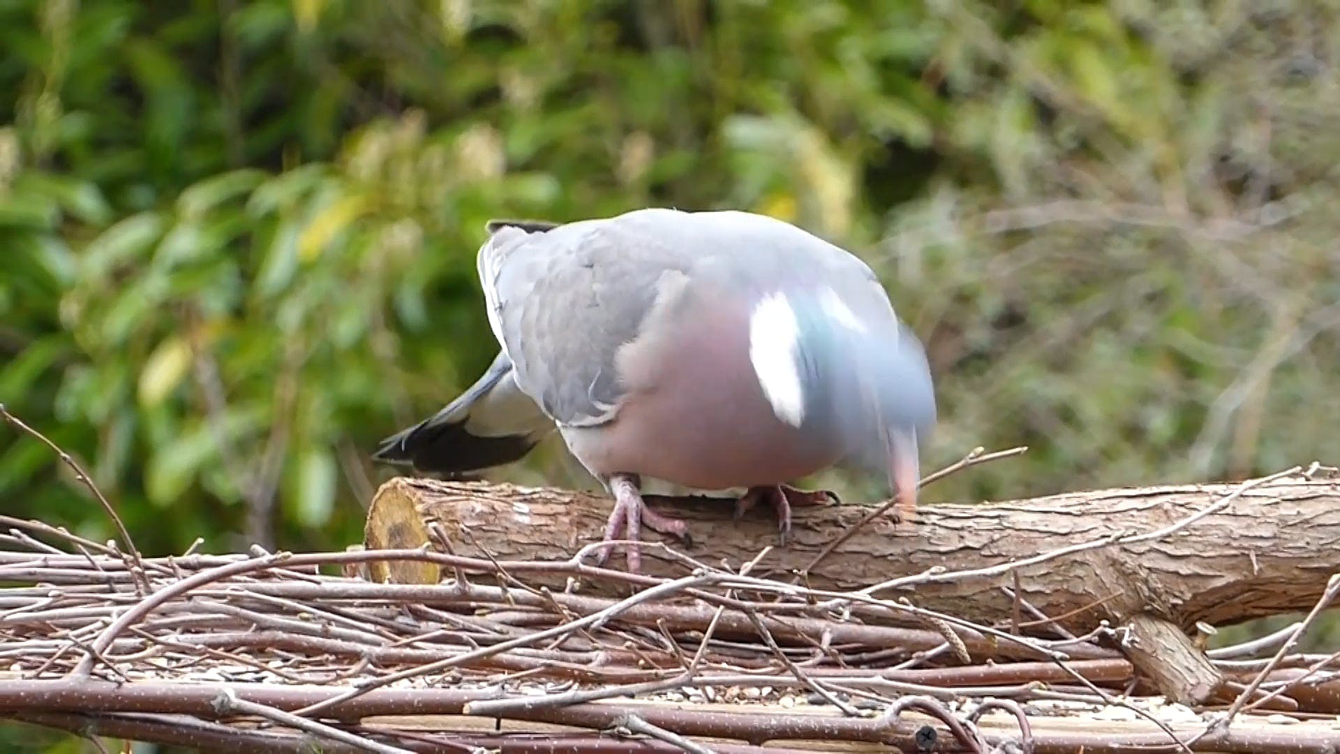 Video Of Pigeon Looking For Food