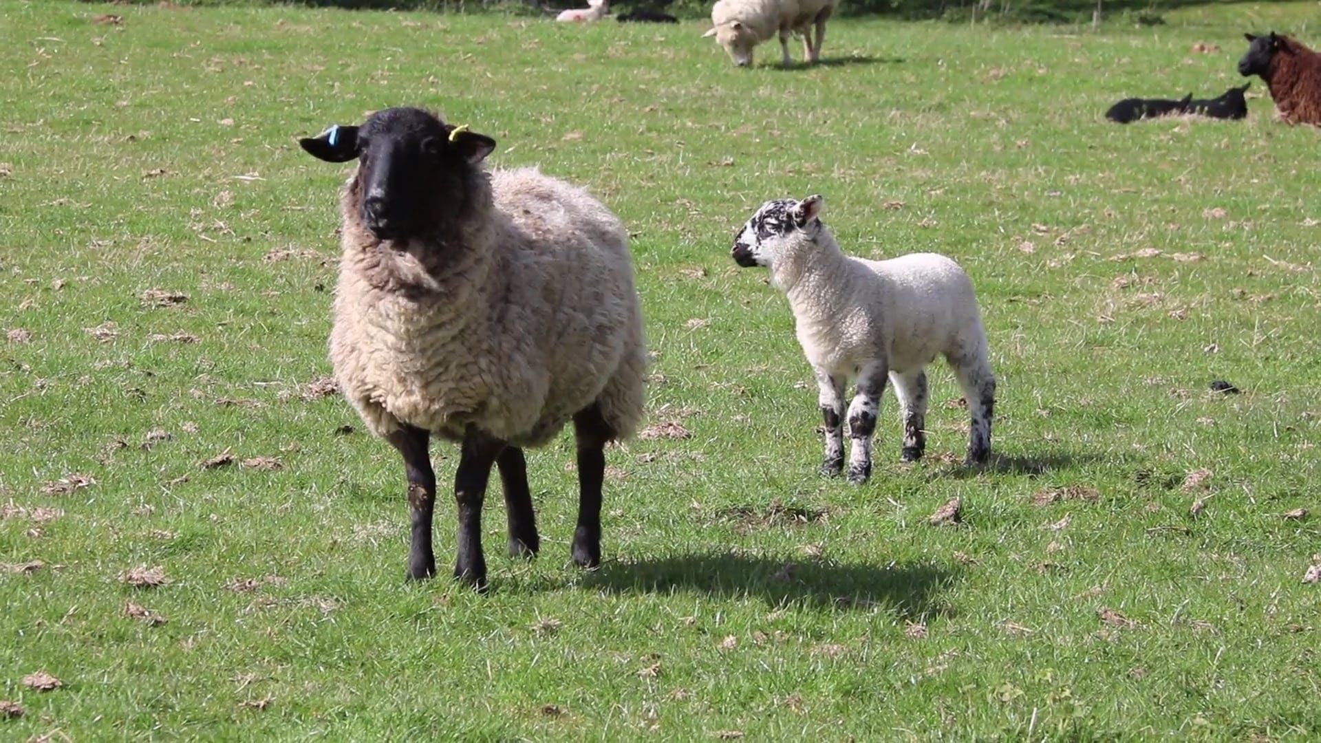 Video Of Sheep Walking