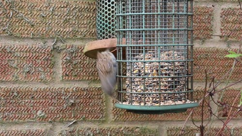 Video of Dunnock Bird