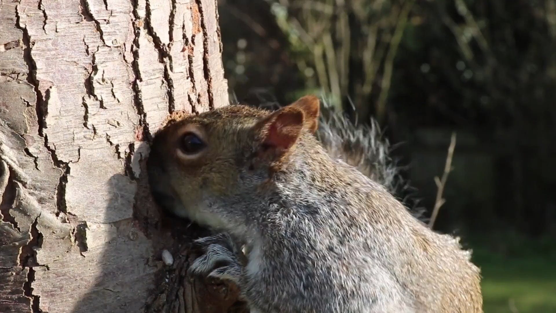 Squirrel Eating From Tree Trunk