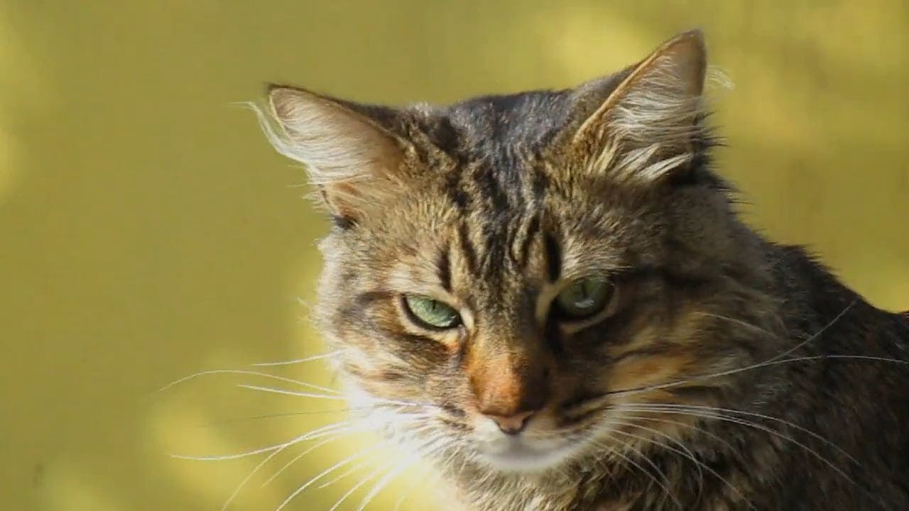 Video Of A Tabby Cat