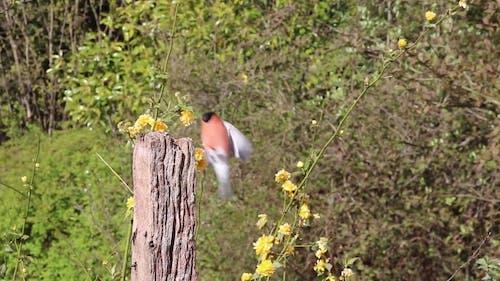 Video Of A Bullfinch Bird