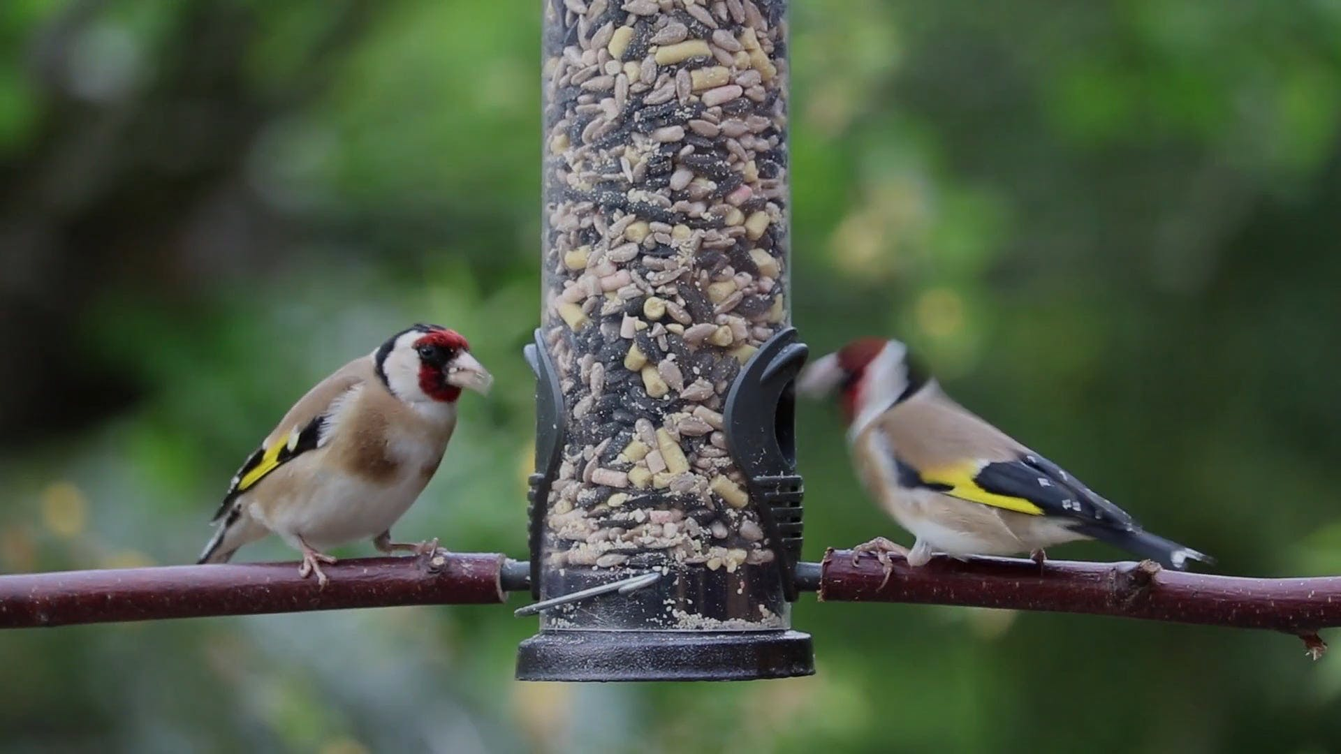 Video Of Goldfinches Eating