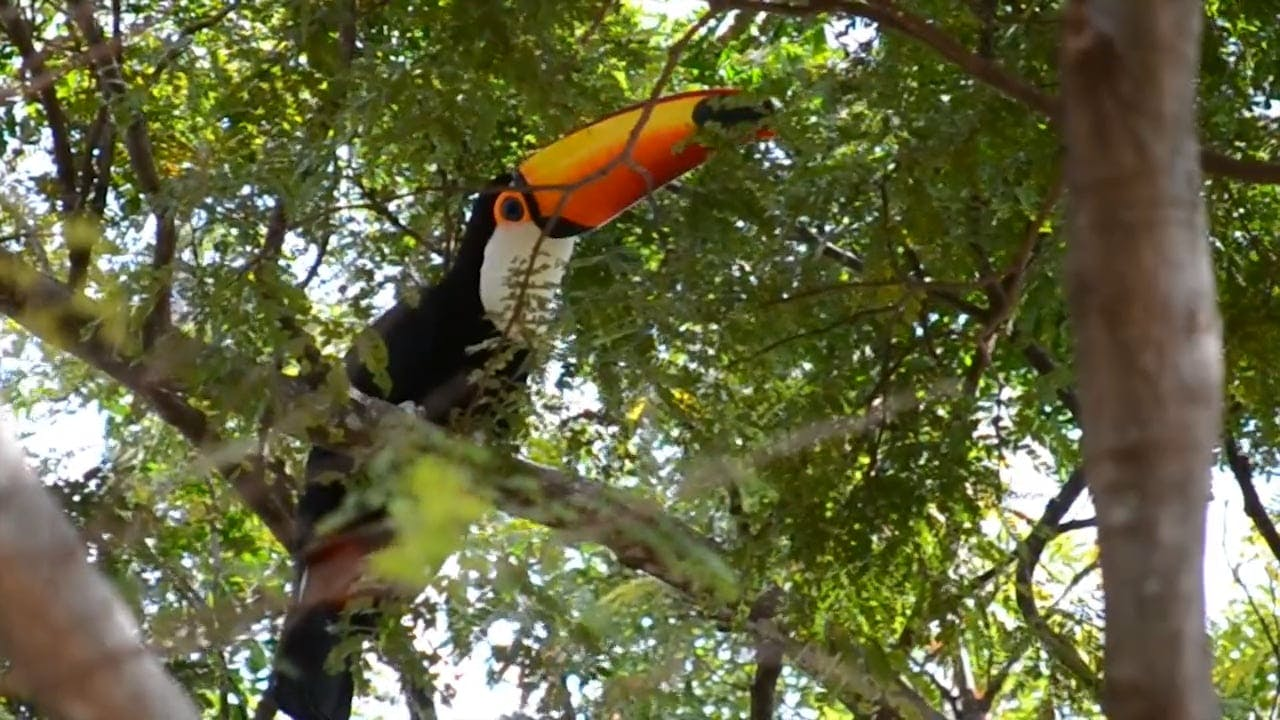 Video Of Tucano Bird