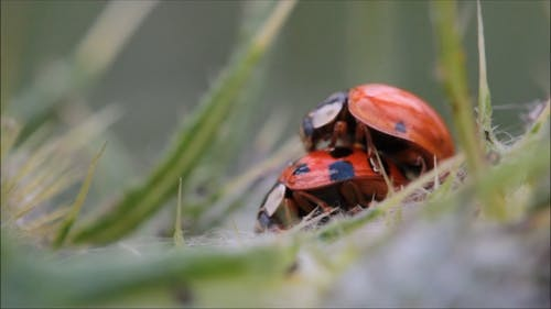 Ladybugs Making Love