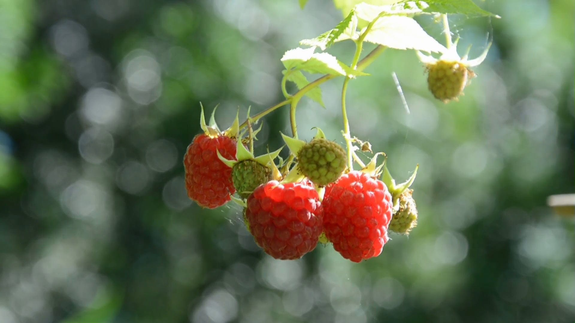 Close Up Video Of Raspberries
