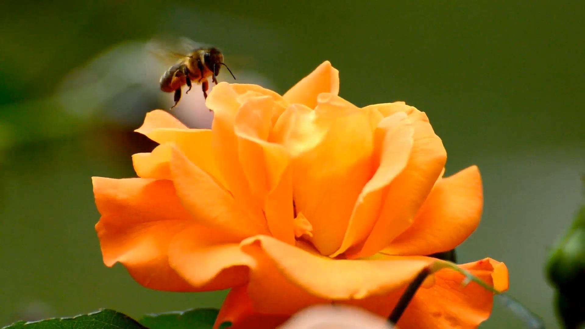 Bees Pollinating