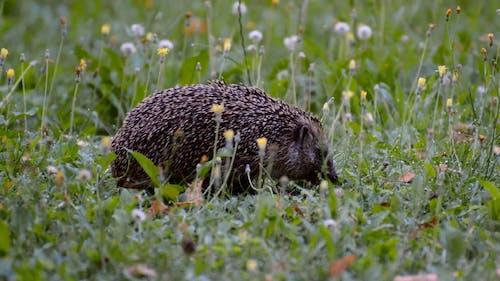 Hedgehog Eating
