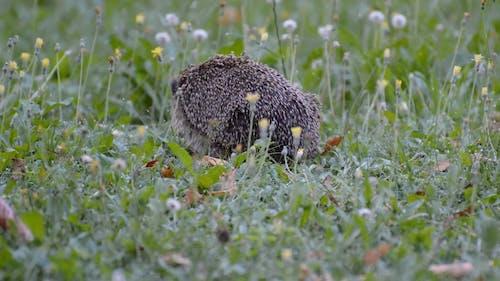Video Of Hedgehog