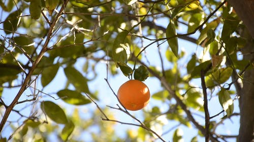 水果挂在树枝上